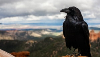 How to Get Rid of Crows: Simple & Effective Methods