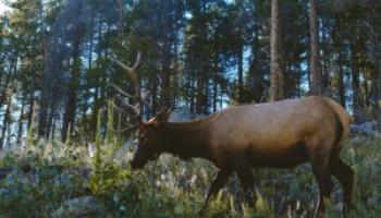 Deer Poop: Identification & Removal Guide