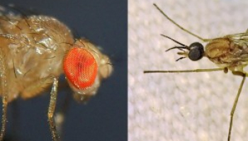 Fruit Fly vs Gnat: How to Distinguish