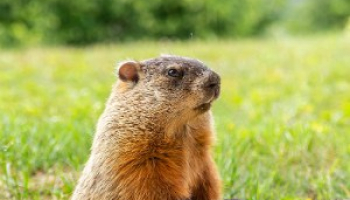 Best Groundhog Bait in 2021: Expert Reviews