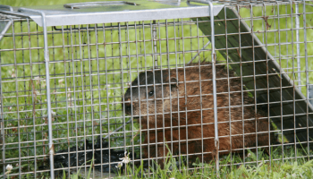 Best Groundhog Traps: Most Effective Models and Guide