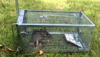 How to Get Rid of Rats: Detailed Identification & Removal Guide