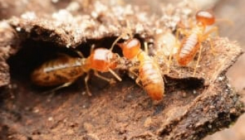 Bugs That Look Like Termites: How Do I Tell Them Apart?