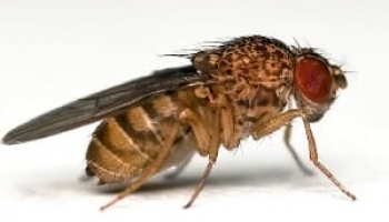 Where Do Fruit Flies Come From? — Answering Your Questions About Drosophilae