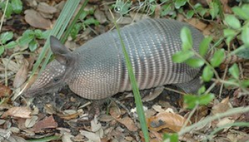 How to Get Rid of Armadillos Around Your House
