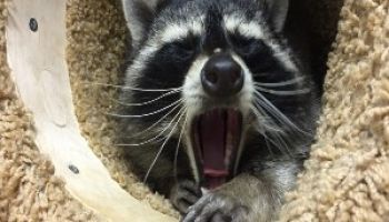 Best Raccoon Repellents & Deterrents in 2021: Expert Reviews