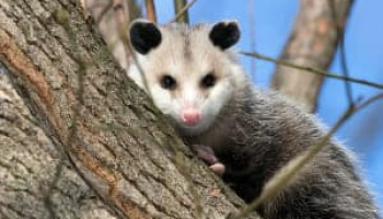 Best Possum Repellents and Deterrents in 2021: Expert Reviews