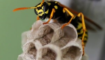 How to Get Rid of Paper Wasps: Safe Removal & Prevention Methods