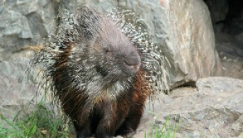 How to Get Rid of Porcupines: Detailed Identification & Removal Guide