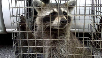 Best Raccoon Trap in 2021: Expert Reviews