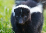 Skunk Poop: Methods of Identification & Cleaning