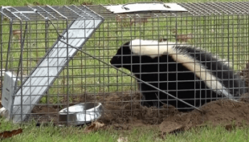 Best Skunk Trap in 2021: Expert Reviews