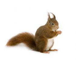 squirrel-main-pch