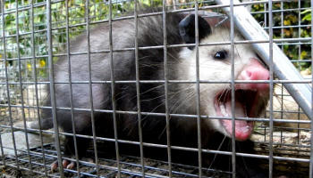 How to Trap Possum: Expert Tips and Tricks