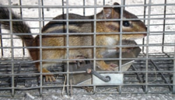 Best Chipmunk Traps in 2021: Expert Reviews