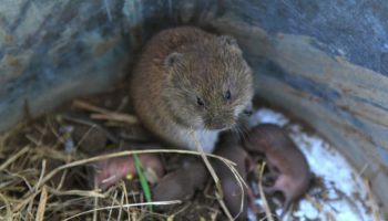 How to Get Rid of Voles:: Effective Vole Removal Methods