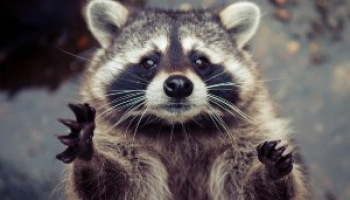 How to Get Rid of Raccoons: Effective Racoon Removal Methods
