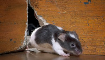 How Much Is an Exterminator for Mice: Mice Removal Cost Guide (2021 Updated)