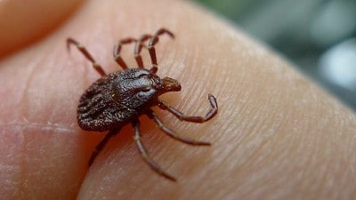 tick walking on a human finger