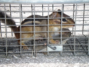 chipmunk in a trap