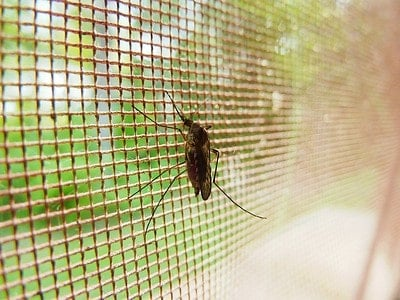 trapped mosquito sitting on the mesh