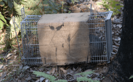 possum in a trap