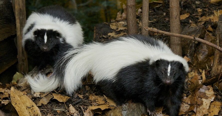 two autumn skunks