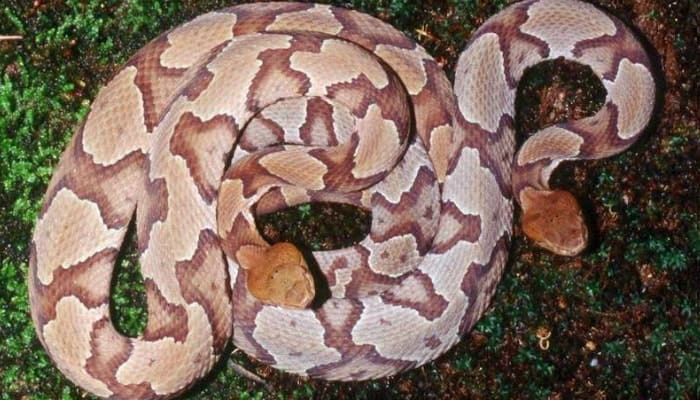 two copperhead