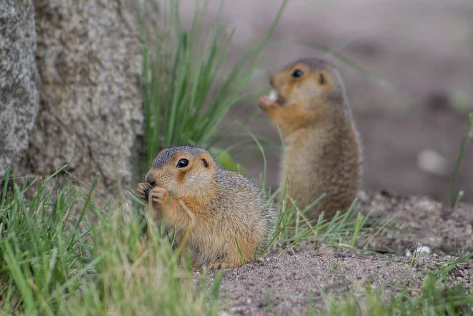 two eating gophers