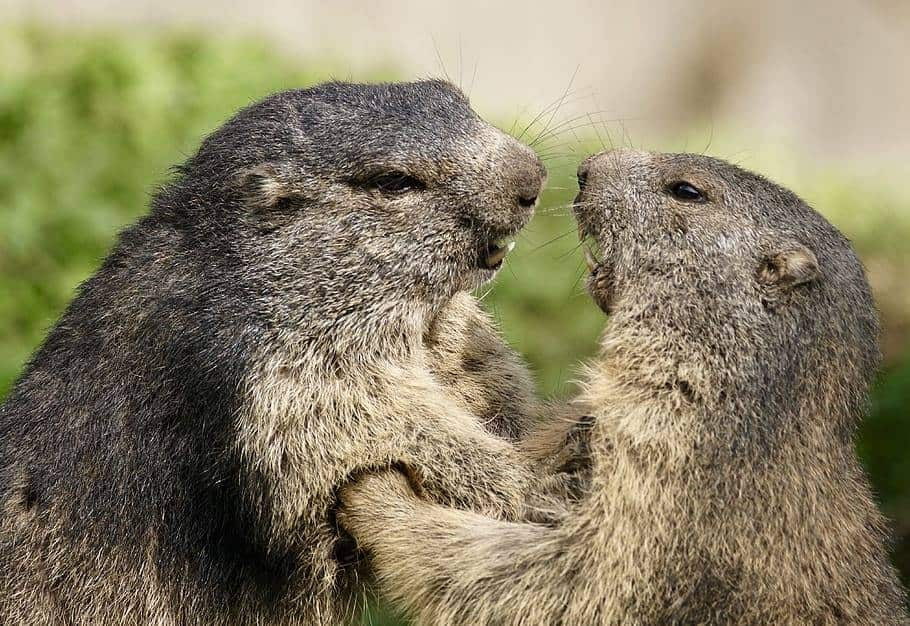 two-gophers