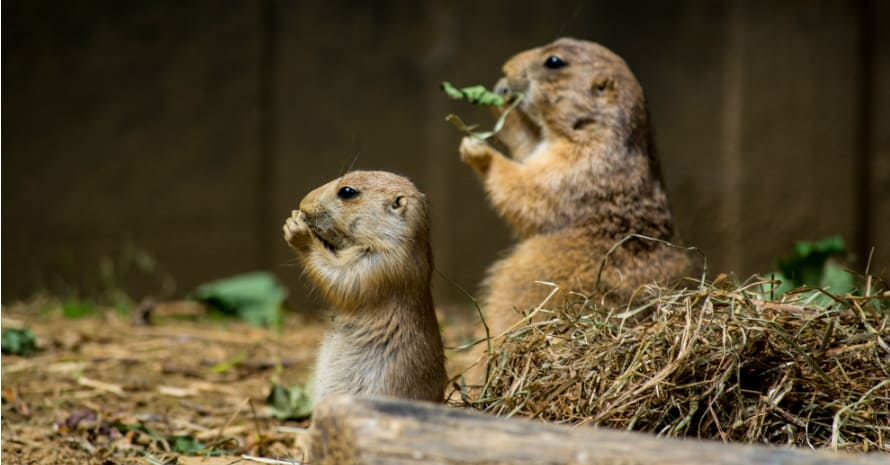 two moles eat on their hind legs