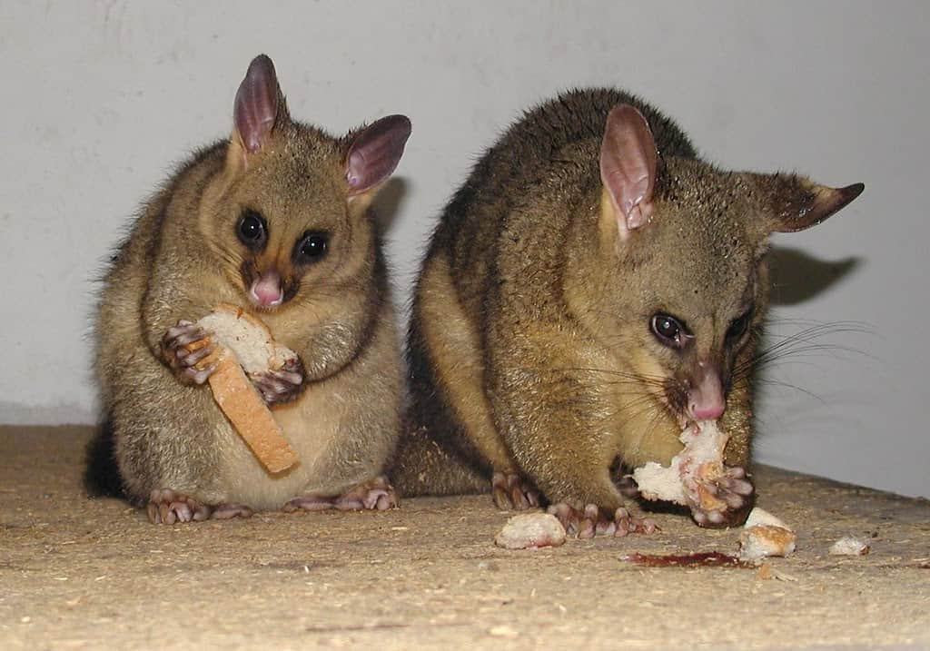 two possums eating