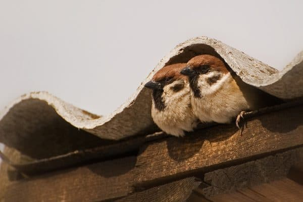 two sparrows under the roof