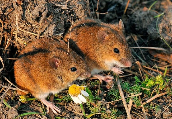 two voles
