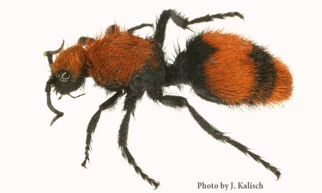 furry ant