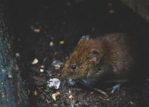 vole eating a flower