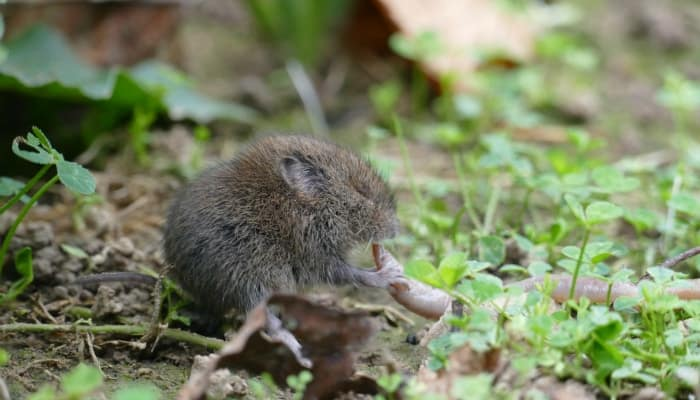 vole eating a worm