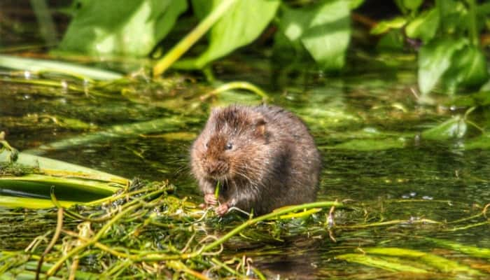 vole on the water