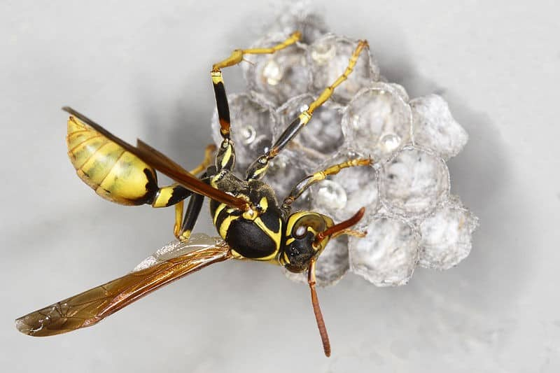 wasp-building-nest