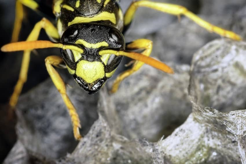 wasp guards its nest
