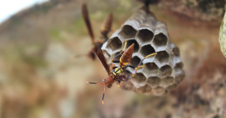 wasp on a wasp nest