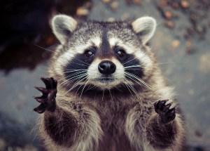 waving-raccoon