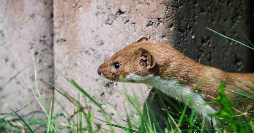 weasel comes around the corner