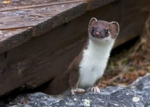 weasel comes out from under the floor