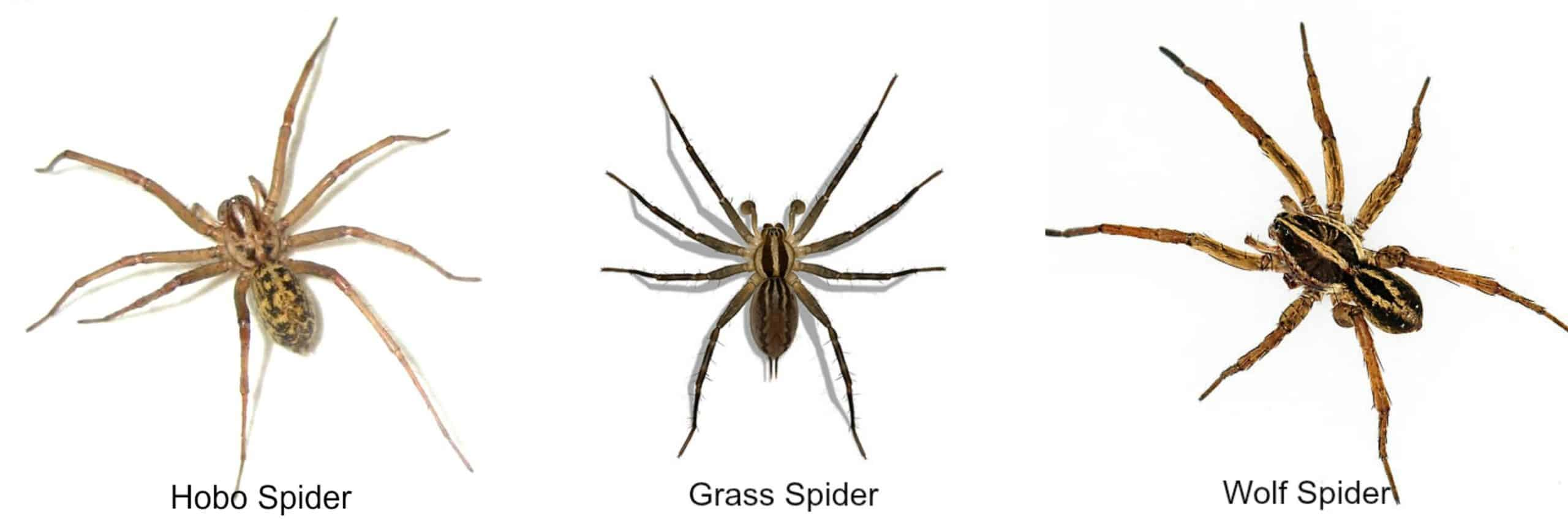 wolf spider vs grass vs hobo spiders