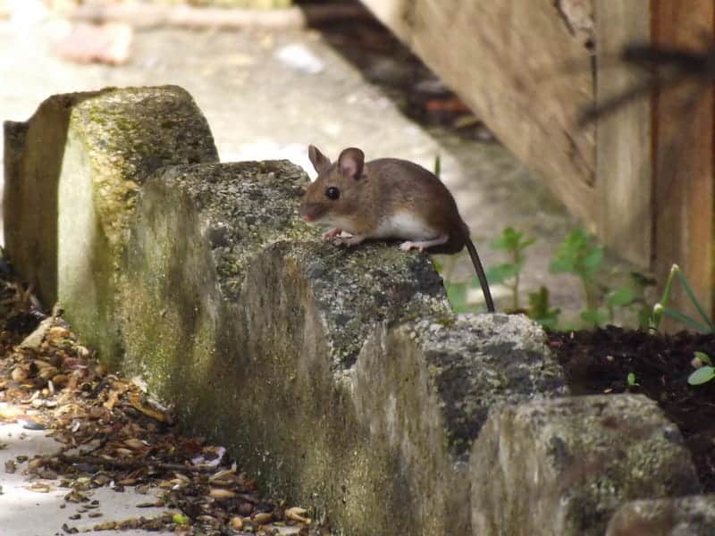 european wood mouse on the street