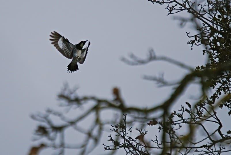 woodpecker flying