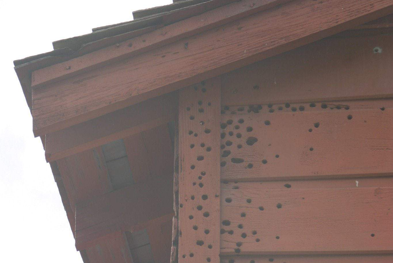 woodpecker-holes in a house wall