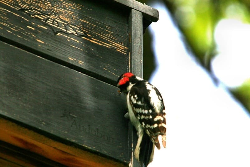 woodpecker making a hole in a house