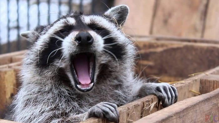 yawning raccoon
